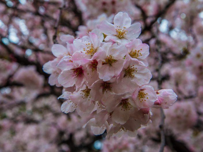 Cherry Blossoms in the Rain | 雨桜